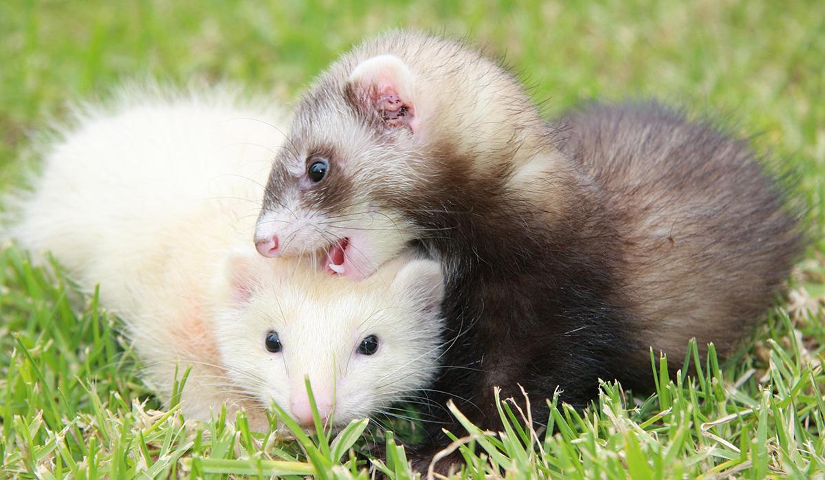 best pets ferret